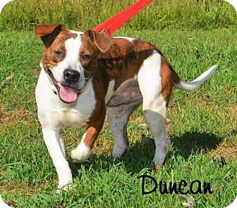 American Bulldog/Boxer Mix Dog for adoption in DuQuoin, Illinois - Duncan