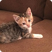 American Shorthair Cat for adoption in Toms River, New Jersey - Fancy