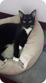 Domestic Shorthair Cat for adoption in Montello, Wisconsin - Dean Martin