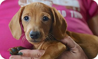 Dachshund Puppy for adoption in Glastonbury, Connecticut - Hans~adopted!