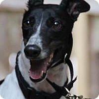Greyhound Dog for adoption in Nashville, Tennessee - China