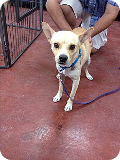 Rat Terrier Mix Dog for adoption in Tehachapi, California - Rico