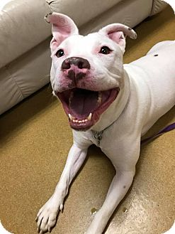 Pit Bull Terrier Mix Dog for adoption in Maryville, Missouri - Guerra