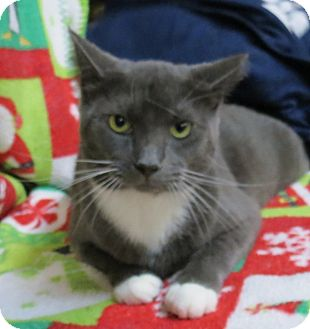 Domestic Shorthair Cat for adoption in Marble Falls, Texas - Larson