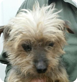 Yorkie, Yorkshire Terrier Mix Dog for adoption in Lexington, Kentucky - Diego