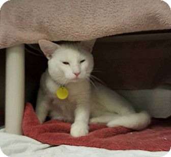 Domestic Shorthair Cat for adoption in THORNHILL, Ontario - Google