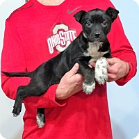 Adopt A Pet :: T Bone - New Philadelphia, OH