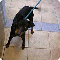Adopt A Pet :: Milo - Eureka Springs, AR