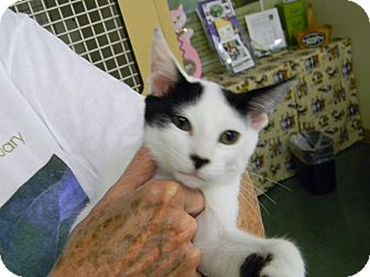 Turkish Van Kitten for adoption in Bonita Springs, Florida - Franklin