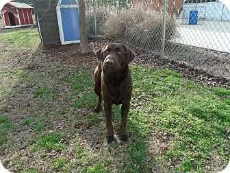 Labrador Retriever Dog for adoption in Gadsden, Alabama - Woodstock