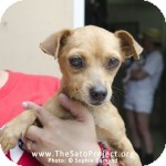 Terrier (Unknown Type, Small)/Chihuahua Mix Dog for adoption in Madison, New Jersey - Peggy