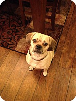 Pug/Beagle Mix Dog for adoption in La Crosse, Wisconsin - Jaxon
