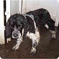 Adopt A Pet :: Boo - Tacoma, WA