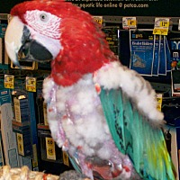 Macaw for adoption in Shawnee Mission, Kansas - Gerri