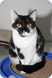 Domestic Shorthair Cat for adoption in Owenboro, Kentucky - LUCY