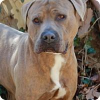 Adopt A Pet :: Soldier - Port Washington, NY