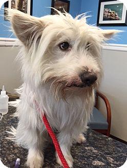 Westie Dog Rescue Nj