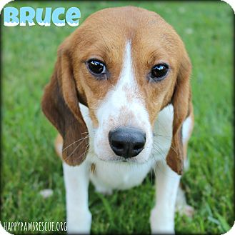 Beagle Dog for adoption in South Plainfield, New Jersey - Bruce