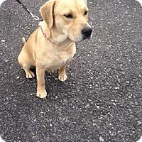 Adopt A Pet :: Angel - New Oxford, PA