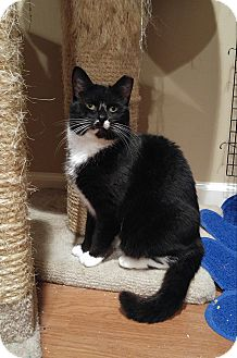 Domestic Shorthair Cat for adoption in Lenhartsville, Pennsylvania - Mona
