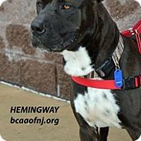 Adopt A Pet :: Ernest Hemingway - Willingboro, NJ