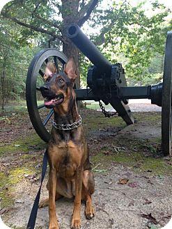 Doberman Pinscher Dog for adoption in Greensboro, North Carolina - Maya(CL)