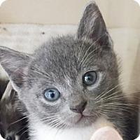 Adopt A Pet :: Chairman Meow - Lincolnton, NC