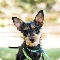 Adopt A Pet :: Tina~meet me~new pics! - Glastonbury, CT
