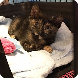 Domestic Shorthair Kitten for adoption in Long Beach, California - Eden