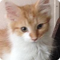 Adopt A Pet :: Babette - Germantown, MD