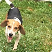 Adopt A Pet :: Stevie - cicero, NY