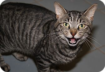 Domestic Shorthair Cat for adoption in Marietta, Ohio - Justin (Neutered)
