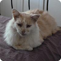 Domestic Longhair Cat for adoption in Monroe, North Carolina - Sam