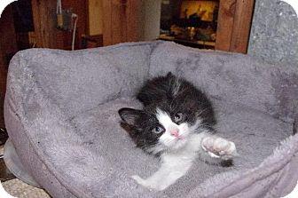 Domestic Shorthair Kitten for adoption in St. Louis, Missouri - Jaime Lannister