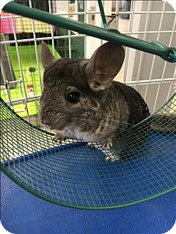 Chinchilla for adoption in Madison, New Jersey - Stardust