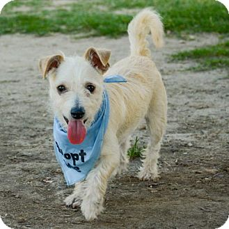 Terrier (Unknown Type, Medium) Mix Dog for adoption in Mission viejo, California - Charlie