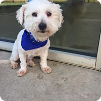 Maltese Mix Dog for adoption in Dallas, Texas - Kirby