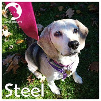 Beagle Dog for adoption in Novi, Michigan - Steel