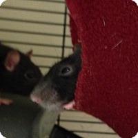Adopt A Pet :: Sprinkles - Navarre, FL