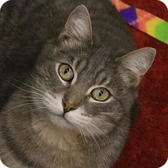 Domestic Shorthair Cat for adoption in Morgan Hill, California - Misty