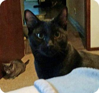 Domestic Shorthair Cat for adoption in Paradise, California - Ozone