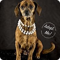 Dachshund/Chihuahua Mix Dog for adoption in Gillsville, Georgia - Gracie