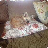 Shih Tzu Mix Dog for adoption in Akron, Ohio - Bonnie