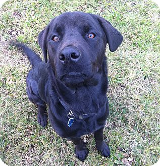 Labrador Retriever/Rottweiler Mix Dog for adoption in Cleveland, Ohio - Thor