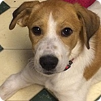 Adopt A Pet :: Lexi Lovebug - Hamburg, PA