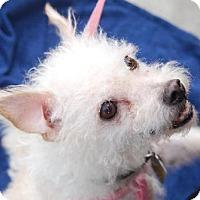 Adopt A Pet :: Beezus - Downey, CA
