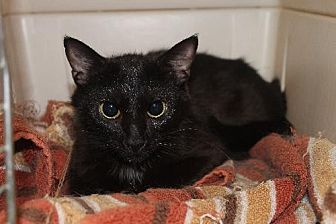 Domestic Shorthair Cat for adoption in Cincinnati, Ohio - Milly