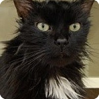 Adopt A Pet :: Shakespeare-ADOPT ME NOW-$65!! - Naperville, IL