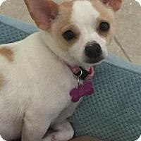 Adopt A Pet :: Soda Pop - Royal Palm Beach, FL