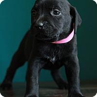 Adopt A Pet :: Savannah - Waldorf, MD